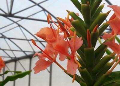 Hedychium-Elizabeth-pepiniere-arc-en-fleurs