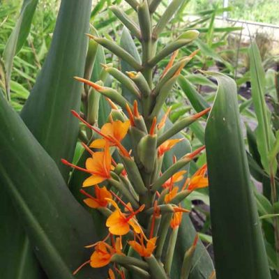 Hedychium-coccineum-Tara-Pepiniere-Arc-en-Fleurs