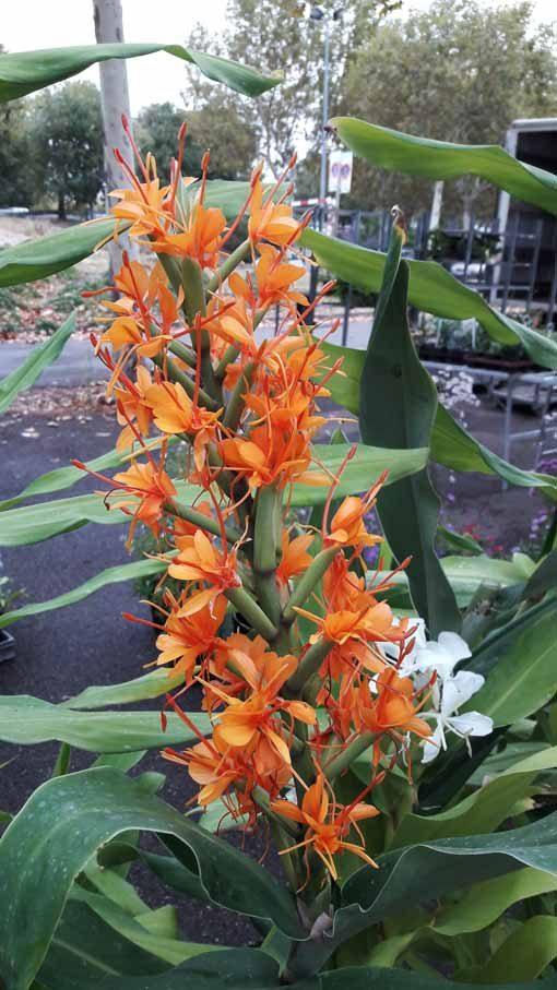 Hedychium-coccineum-Tara-marche-nimes