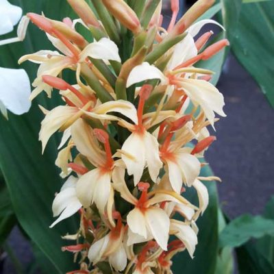 Hedychium-densiflorum-Stephen-pepiniere-arc-en-fleurs