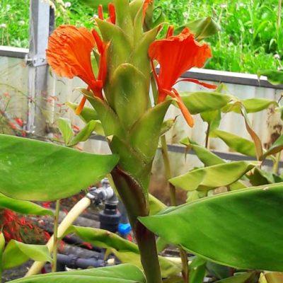 Hedychium-greenii-pepiniere-arc-en-fleurs