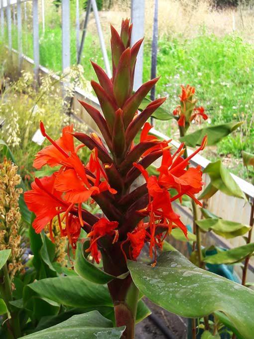 Hedychium-rubrum-pepiniere-arc-en-fleurs