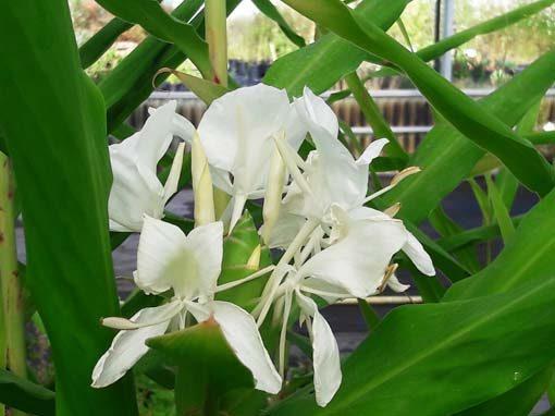 hedychium-coronarium-pepiniere-arc-en-fleurs