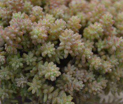 sedum-diffusom-potosinum-vue-details-pepiniere-arc-en-fleurs