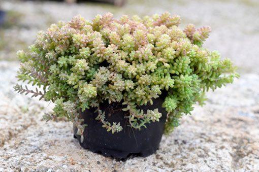 sedum-diffusom-potosinum-vue-pot-pepiniere-arc-en-fleurs