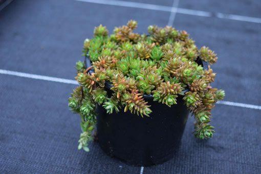 sedum-sarmentosum-vue-pot-pepiniere-arc-en-fleurs