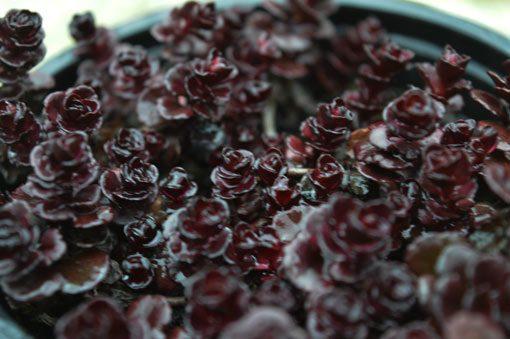 sedum-spurium-atropurpureum-vue-dessus-pepiniere-arc-en-fleurs