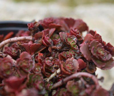 sedum-spurium-vue-details-pepiniere-arc-en-fleurs