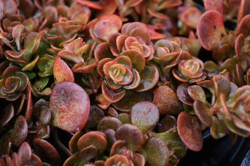 sedum-tetractinum-coralreef-vue-detail-pepiniere-arc-en-fleurs