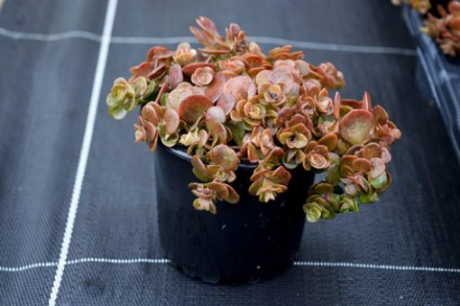 sedum-tetractinum-coralreef-vue-pot-pepiniere-arc-en-fleurs