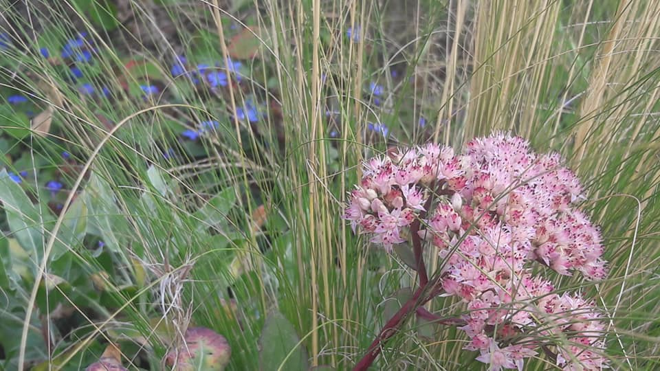 Cerastostigma plumbaginoides sedum spectabile stipa tenuifolia