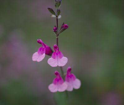 Salvia-shell-dancer-pepiniere-arc-en-fleurs-plantes-vivaces