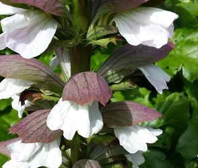 acanthus-mollis-pepiniere-arc-fleurs-plantes-vivaces