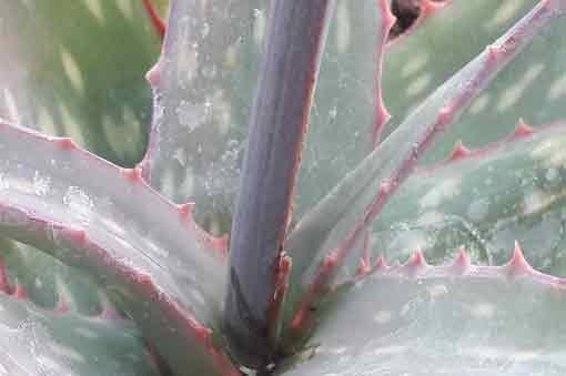 aloe-sinkatana-feuille-pepiniere-arc-en-fleurs