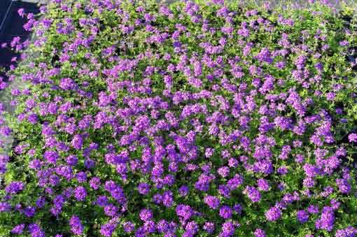 couvres-sol-verbena-tenuisecta-pepiniere-arc-en-fleurs-vivaces
