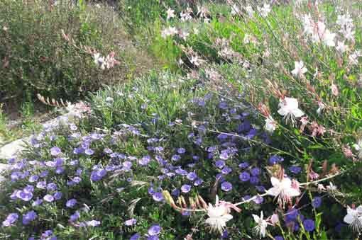 covolvulus-mauritanicus-pepiniere-arc-fleurs-plantes-vivaces