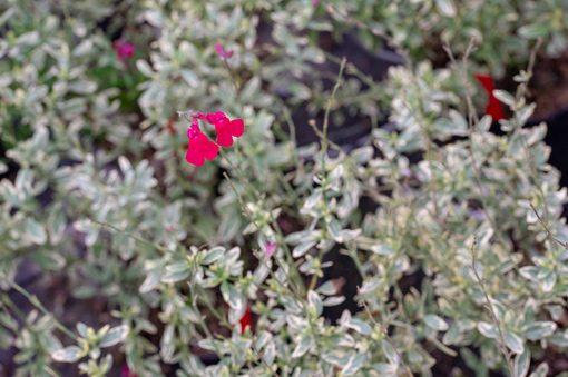 salvia-caramba-pepiniere-arc-en-fleurs-plantes-vivaces
