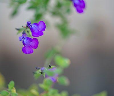 salvia-chamaedryoides-microphylla-pepiniere-arc-en-fleurs-plantes-vivaces