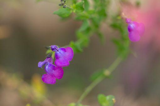 salvia-chamaedryoides-microphylla-pepiniere-arc-en-fleurs-plantes-vivaces.fleurs