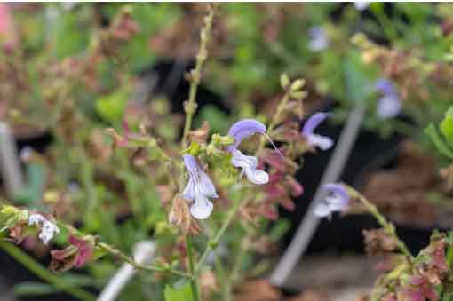 salvia-chamelaeagnea-pepiniere-arc-fleurs-plantes-vivaces