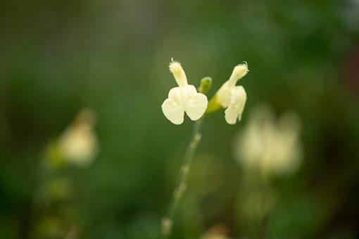 salvia-greggi-yellow-pepiniere-arc-en-fleurs-plantes-vivaces
