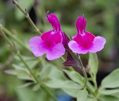 salvia-icing-sugar-pepiniere-arc-en-fleurs-massif-plantes-vivaces