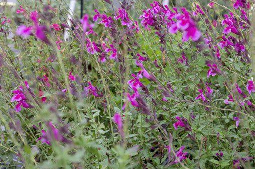 alvia-icing-sugar-pepiniere-arc-en-fleurs-plantes-vivaces
