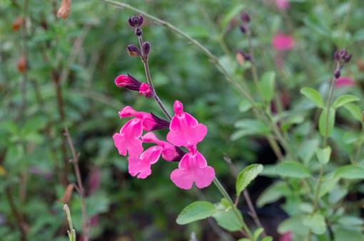 salvia-los-lirios-pepiniere-arc-en-fleurs-plantes-vivaces