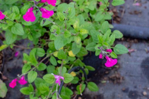 salvia-pink-blush-pepiniere-arc-en-fleurs-plantes-vivaces