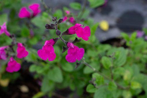 salvia-pink-blush-pepiniere-arc-en-fleurs-plantes-vivaces-massif.