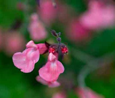 salvia-ribambelle-pepiniere-arc-en-fleurs-plantes-vivaces