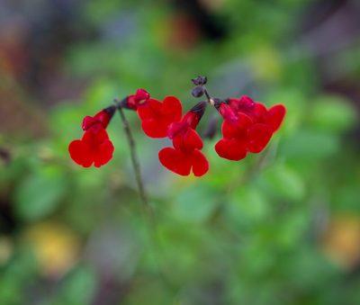 salvia-royal-bumble-pepiniere-arc-en-fleurs-plantes-vivaces-fleurs