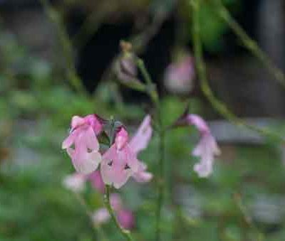 salvia-stormy-pink-pepiniere-arc-en-fleurs-plantes-vivaces