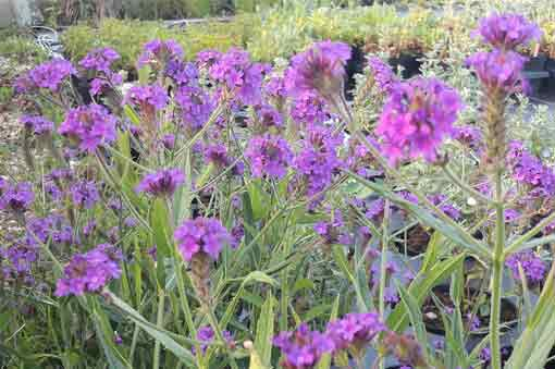 verbena-venosa-pepiniere-arc-en-fleurs-plantes-vivaces