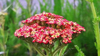 Achillea_millefolium_tricolor