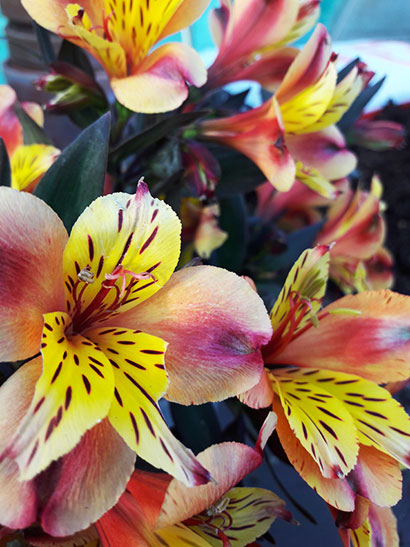 Alstromeria-Indian-Summer_fleur