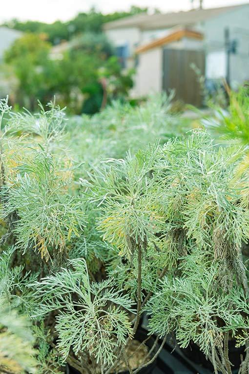 Artemisia_Porquerolles