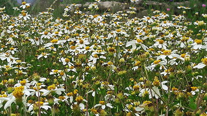 Bidens_pirate_s_pearl_massif