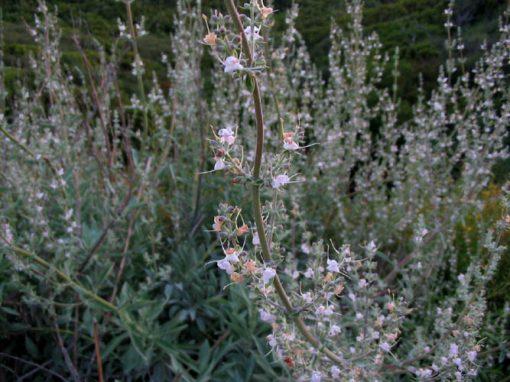 Salvia_apiana_Sauge_blanche_fleurs