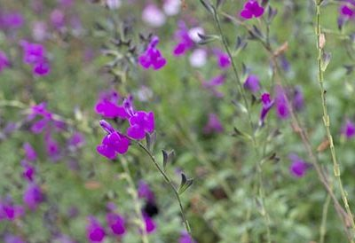 Salvia_arctic_blaze_purple