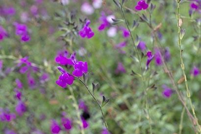 Salvia_arctic_blaze_purple