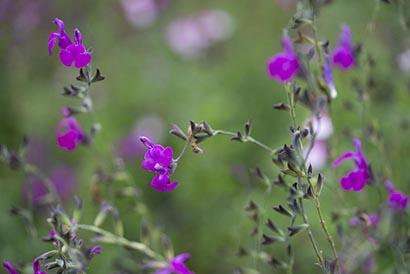 Salvia_arctic_blaze_purple_fleurs