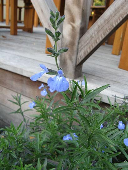 Salvia_azurea_floraison