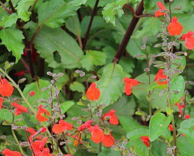 Salvia_blepharophylla