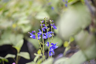 Salvia_cacaliifolia