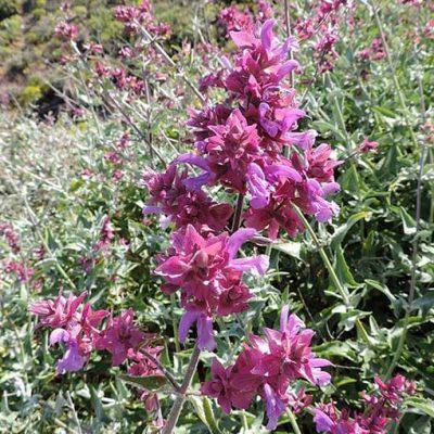 Salvia_canariensis_fleurs
