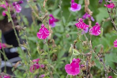 Salvia_cassandra_fleurs