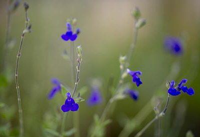 Salvia_chamaedryoides_fleurs