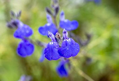 Salvia_chamaedryoides_silver_leaves