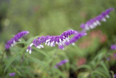 Salvia_leucantha